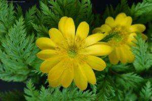 Лекарственная трава Адонис